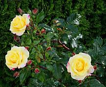 Роза Ругельда (Rugelda) Шраб, фото 2