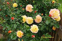 Роза Ругельда (Rugelda) Шраб, фото 3