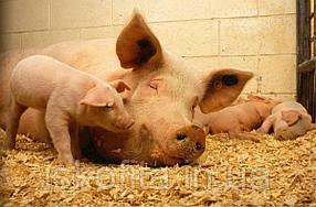 Fortis Lacto. Комбикорм для лактирующих свиноматок 15% БМВД   3,5% премикс