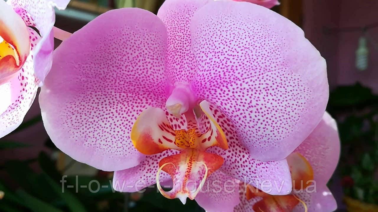 Орхидея   I-Hsin Song X P. Kun Nun Walnut Prince