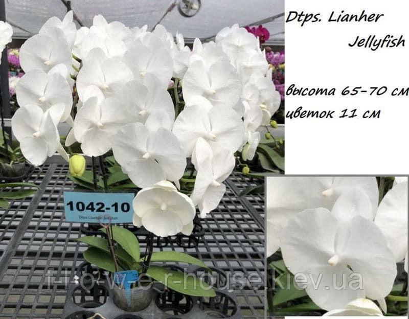 Орхидея Dtps. Lianher Jellyfish