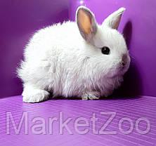 """Карликовый торчеухий кролик,порода """"Голландский"""",окрас """"Серебристый"""",возраст 1мес.,мальчик, фото 3"""