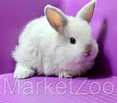 """Карликовый торчеухий кролик,порода """"Голландский"""",окрас """"Серебристый"""",возраст 1мес.,мальчик, фото 2"""