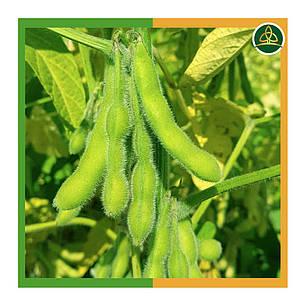 Соя Диона (1 репродукция), урожай 2020, фото 2