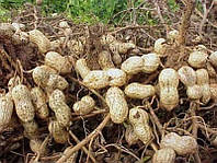 """Семена арахиса """"Валенсиия"""" в пакете - 50 грамм"""