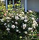 Крокус роуз, фото 5
