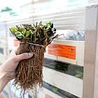 Саженцы клубники (рассада) Вайбрант (Vibrant) - очень ранняя, высокоурожайная, транспортабельная, фото 2