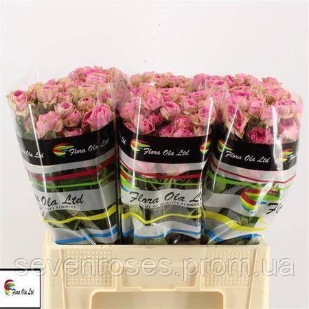 Роза сп. Pink Bijoux 60см