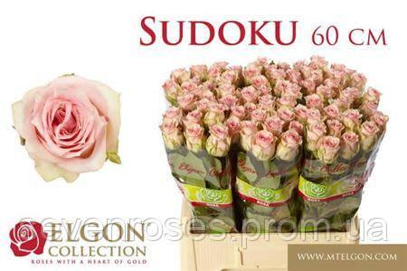 Роза Sudoku 60см