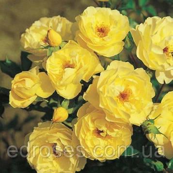 Пчелиное пастбище Желтое (Bienenweide Gelb)