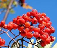 Рябина красная  (плоды),  50г