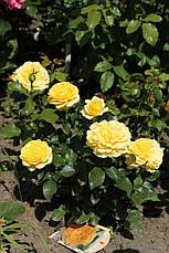 Роза Инка (Inka) Флорибунда, фото 3