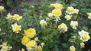 Роза Инка (Inka) Флорибунда, фото 2