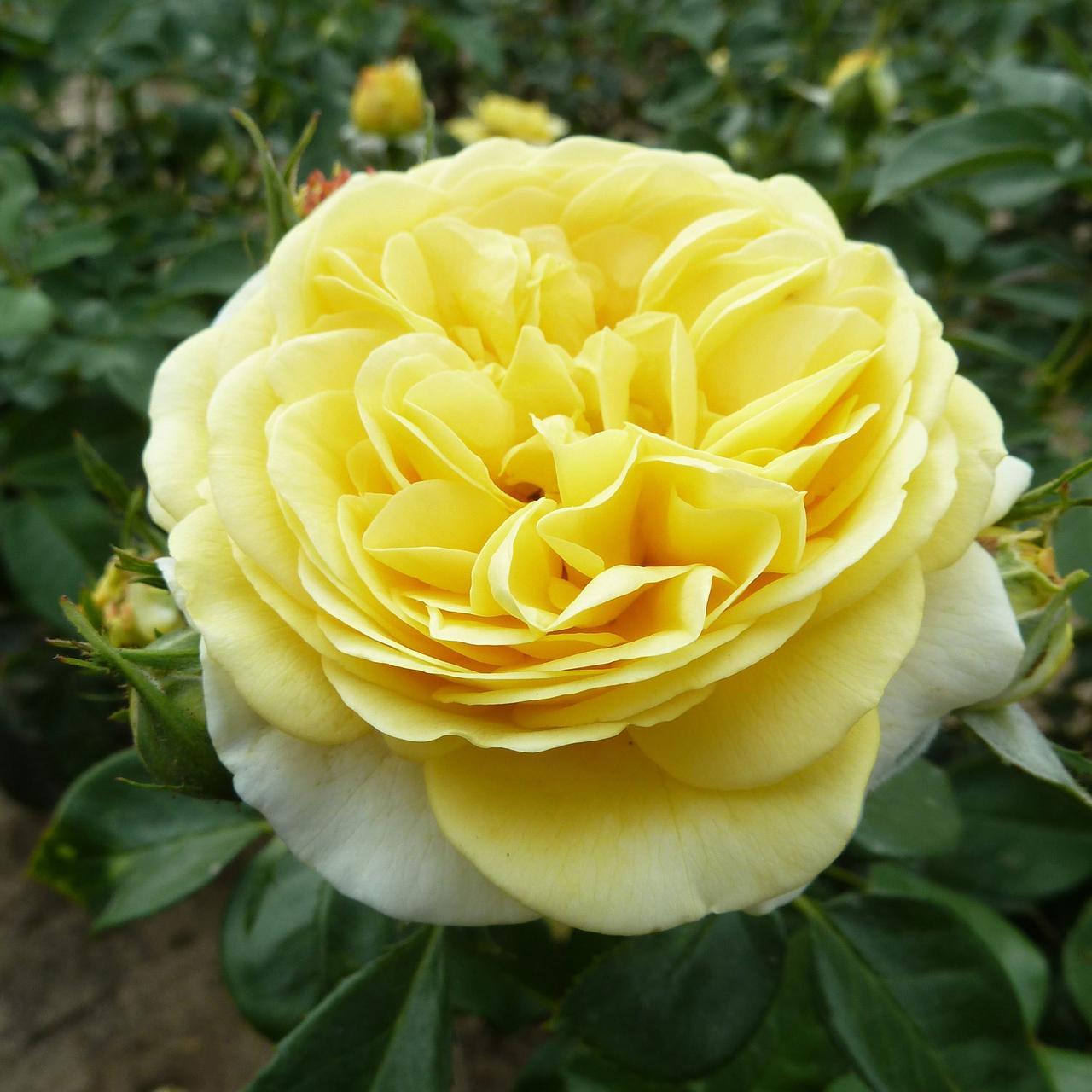 Роза Инка (Inka) Флорибунда
