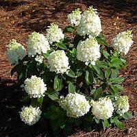 Гортензия метельчатая Бэби Лейс / Hydrangea paniculata 'Baby Lace' ЗКС С3