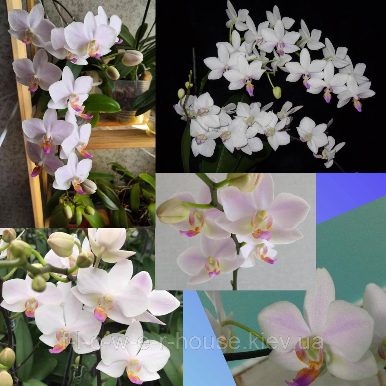 Орхидея Hatuyuki