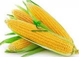 Семена Кукурузы ХОТИН (ФАО 250) фр.2,3 2020 г.у. Союзагротрейд, фото 3