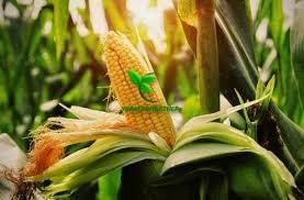 Семена Кукурузы ХОТИН (ФАО 250) фр.2,3 2020 г.у. Союзагротрейд