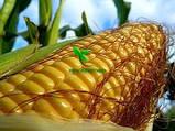 Семена Кукурузы ХОТИН (ФАО 250) фр.2,3 2020 г.у. Союзагротрейд, фото 4
