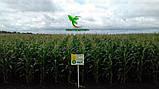 Семена Кукурузы ХОТИН (ФАО 250) фр.2,3 2020 г.у. Союзагротрейд, фото 5