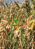 Семена Кукурузы ХОТИН (ФАО 250) фр.2,3 2020 г.у. Союзагротрейд, фото 7