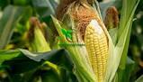 Семена Кукурузы ХОТИН (ФАО 250) фр.2,3 2020 г.у. Союзагротрейд, фото 9