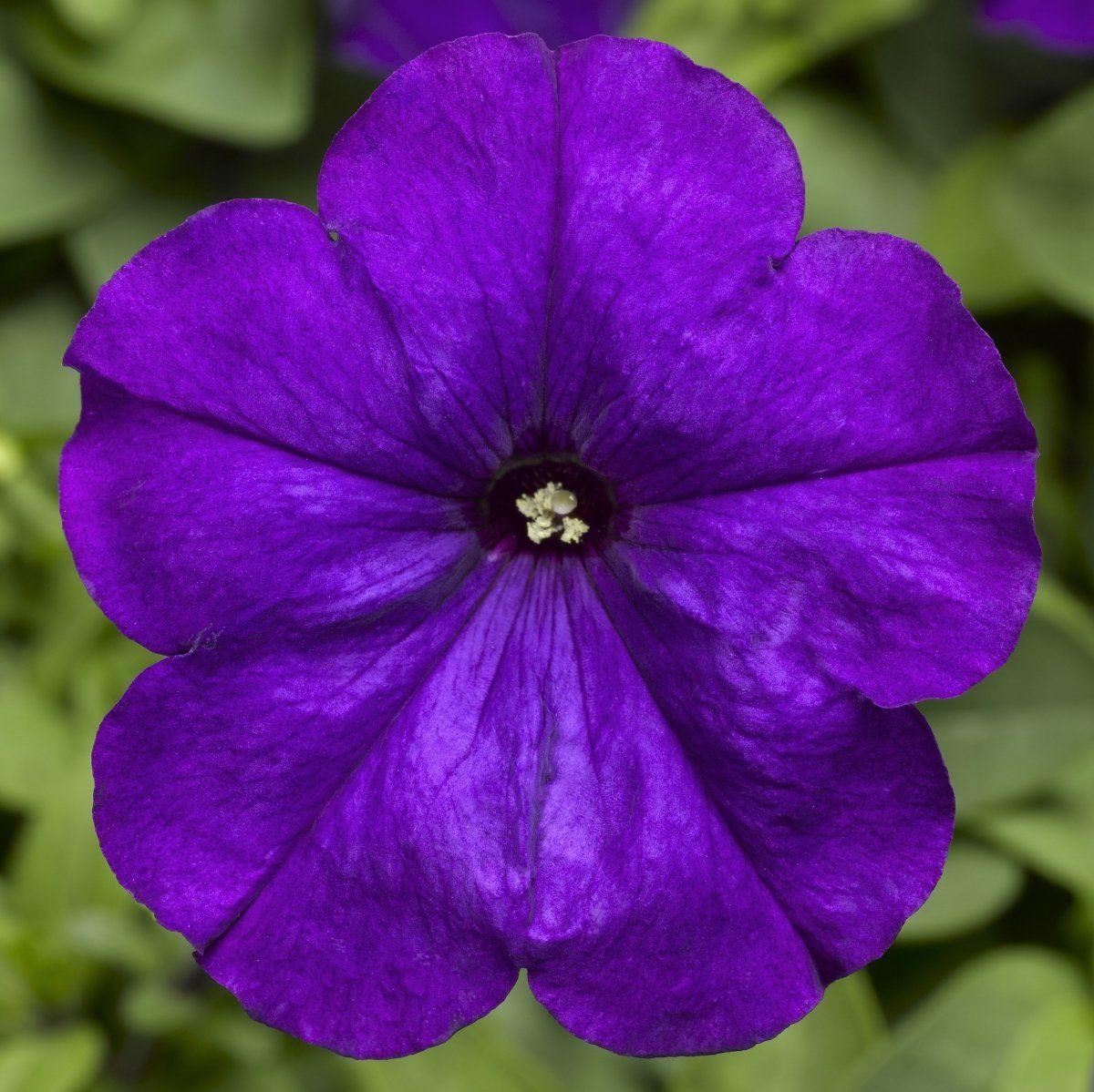 Петуния Мамбо F1 фиолетовый 20 шт