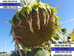 Подсолнечник устойчивый к Гранстар ЕС АЛЬФА. Гибрид высокоурожайный 37ц/га. ЕС Альфа держит заразиху семи агрессивных рас A-G.