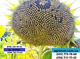 Гибрид ЕС Саксон устойчивый к семи расам заразихи A-G. Семена подсолнечника ЕС Саксон урожайные 42ц. Стандарт, фото 10
