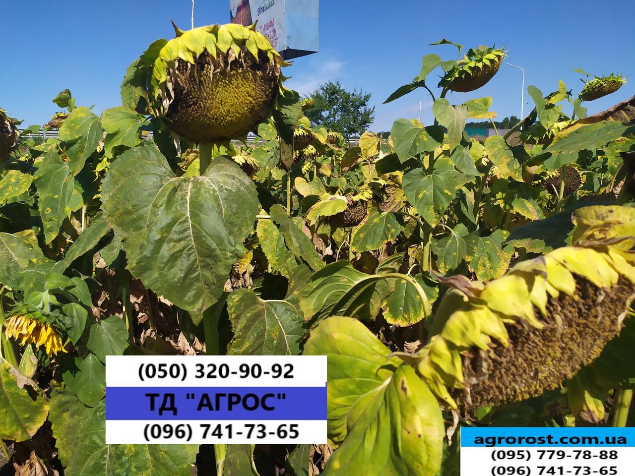 Соняшник ЄС БЕРЕКЕТ під ЄвролайтІнг стійкий до хвороб та посухи. Врожайний 42ц/га. Стандарт