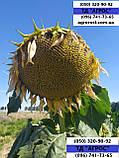 Соняшник ЄС БЕРЕКЕТ під ЄвролайтІнг стійкий до хвороб та посухи. Врожайний 42ц/га. Стандарт, фото 4