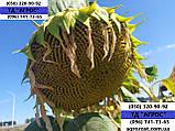 Соняшник ЄС БЕРЕКЕТ під ЄвролайтІнг стійкий до хвороб та посухи. Врожайний 42ц/га. Стандарт, фото 5