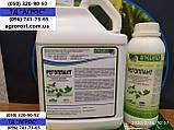 Соняшник ЄС БЕРЕКЕТ під ЄвролайтІнг стійкий до хвороб та посухи. Врожайний 42ц/га. Стандарт, фото 8