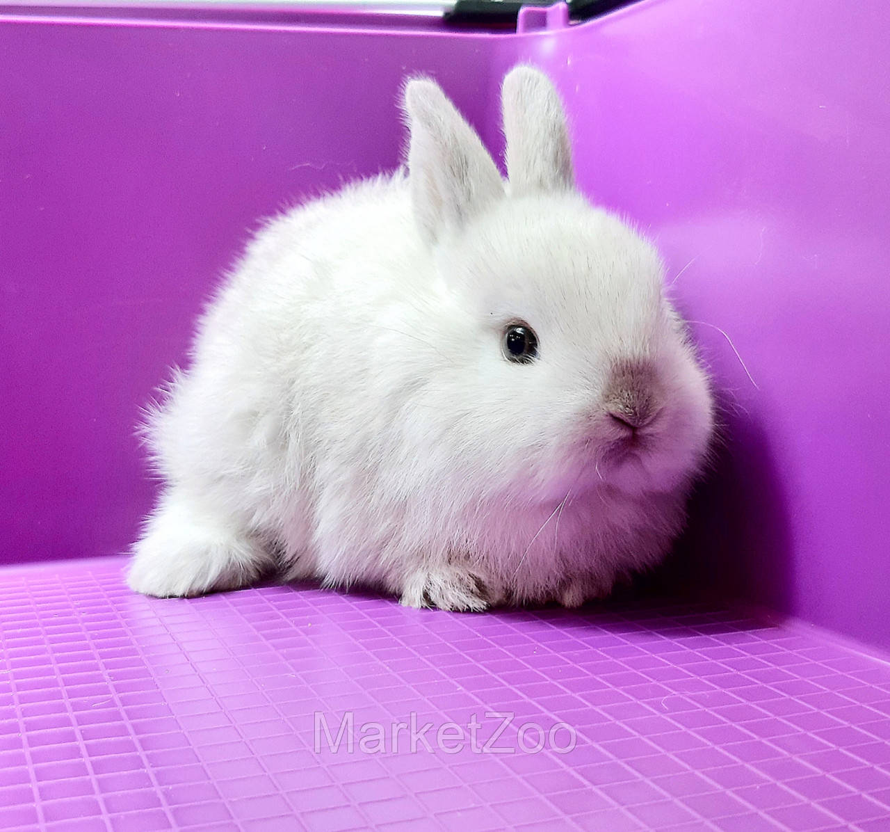 """Карликовый торчеухий кролик,порода """"Голландский"""",окрас """"Серебристый"""",возраст 1мес.,мальчик"""