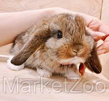 """Карликовый вислоухий кролик,порода """"Вислоухий баранчик"""",окрас """"Агути"""",возраст 1,5мес.,девочка, фото 3"""