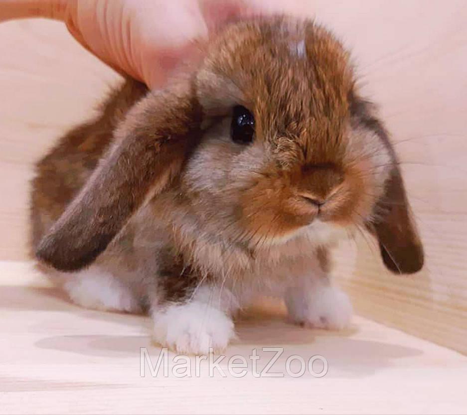 """Карликовый вислоухий кролик,порода """"Вислоухий баранчик"""",окрас """"Агути"""",возраст 1,5мес.,девочка"""