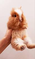 """Карликовый торчеухий кролик, порода """"Львиная голова"""",возраст 1,5мес.,мальчик., фото 3"""