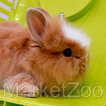 """Карликовый торчеухий кролик, порода """"Львиная голова"""",возраст 1,5мес.,мальчик., фото 2"""