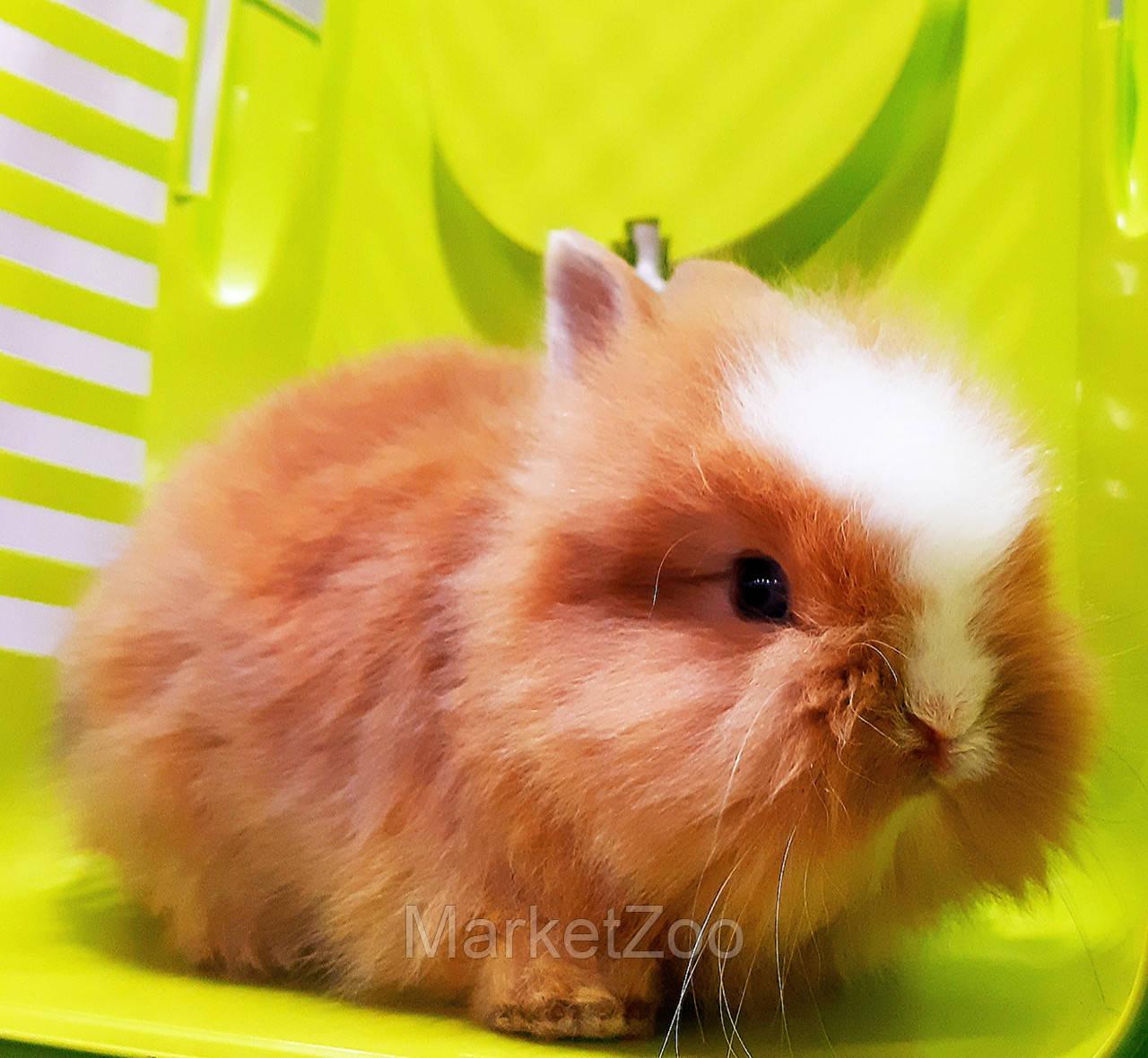 """Карликовый торчеухий кролик, порода """"Львиная голова"""",возраст 1,5мес.,мальчик."""