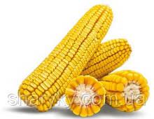 Насіння кукурудзи, семена, семена кукурузи, Маїс Черкаси