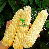 Насіння кукурудзи ДН ГАРАНТ (ФАО 200) 2фр. 2020 р. в. (Маїс Черкаси), фото 5