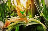 Насіння кукурудзи ДН ГАРАНТ (ФАО 200) 2фр. 2020 р. в. (Маїс Черкаси), фото 8