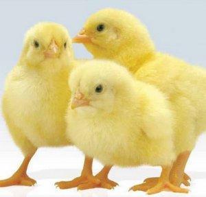 Продам оптом суточных бройлерных цыплят!