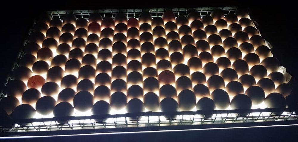 Продам оптом миражное яйцо!