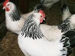 Инкубационное яйцо Адлера Серебристого