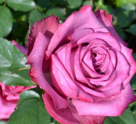 Саженцы чайно - гибридной розы Блуберри (BlueBerry)