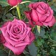 Саженцы чайно - гибридной розы Блуберри (BlueBerry), фото 2