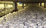 Грибной блок белого Шампиньона + компост + покровный грунт 60х40 см., фото 3