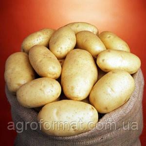 Картопля Маверік 1 репродукція Голандія