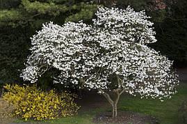 Магнолія Кобус 1 рік, Магнолия Кобус, Magnolia kobus, фото 2